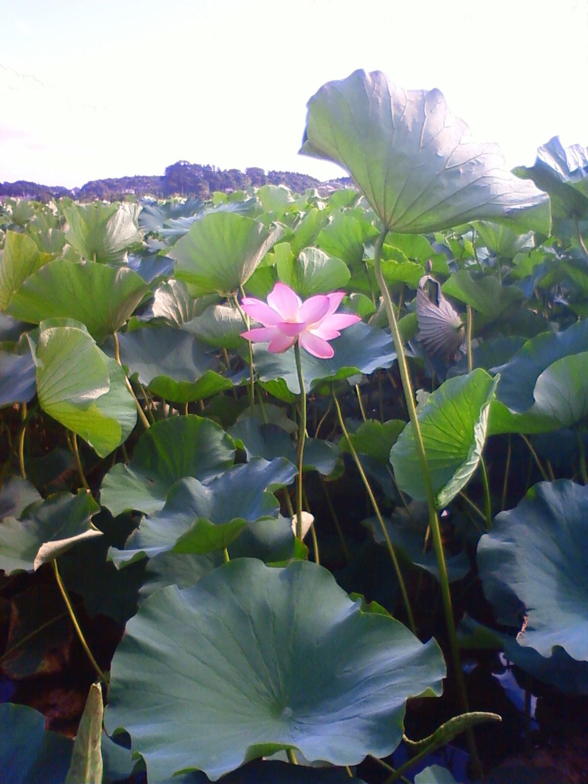 手賀沼のハス咲いてます