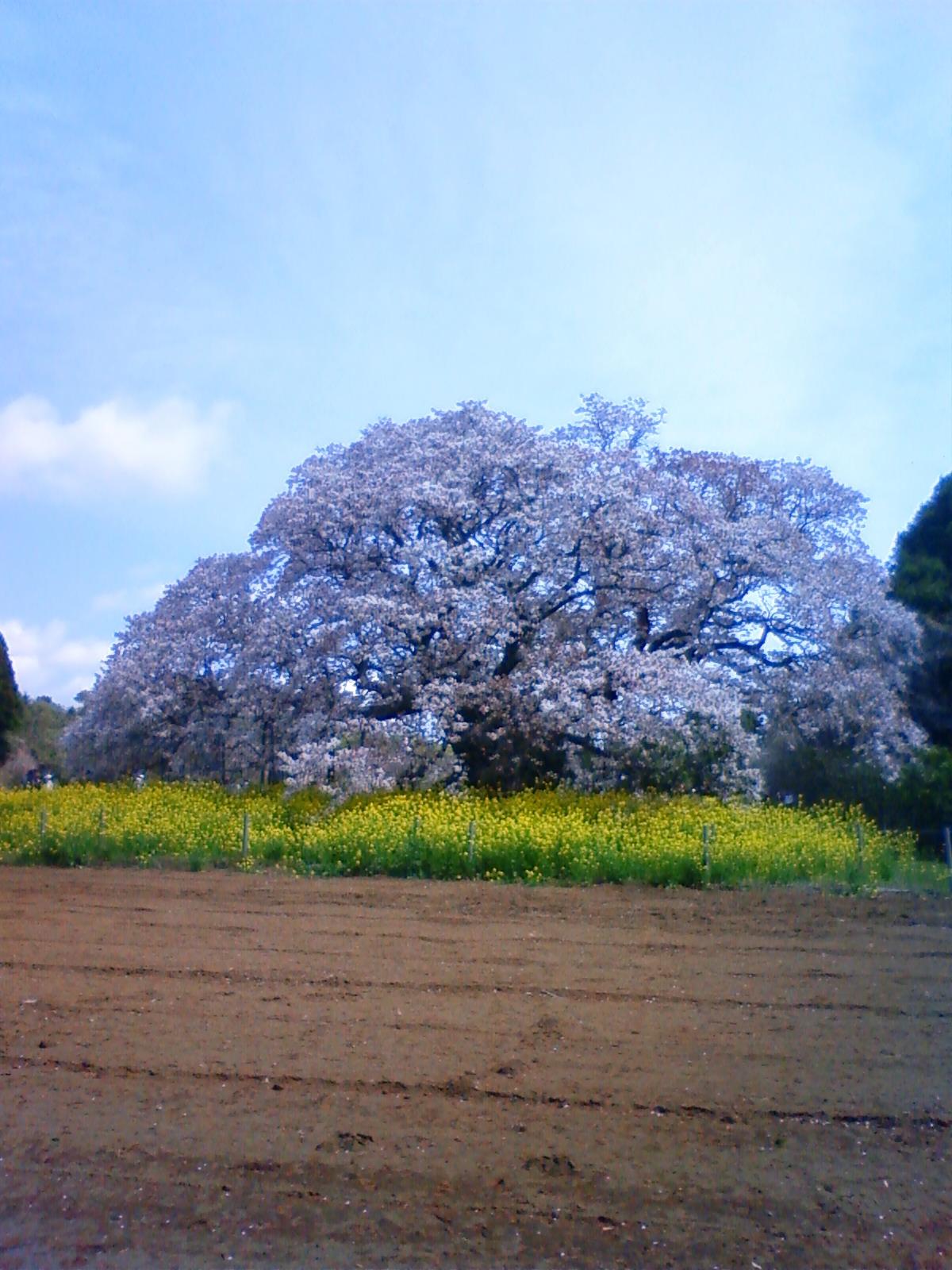 吉高の大桜なう